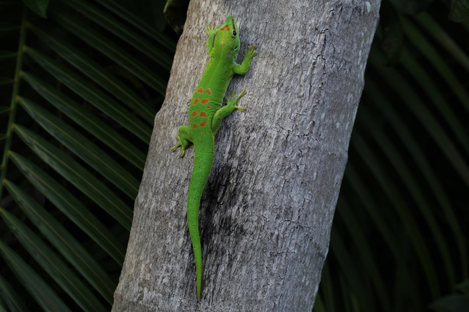 Day gecko (Phelsuma grandis)