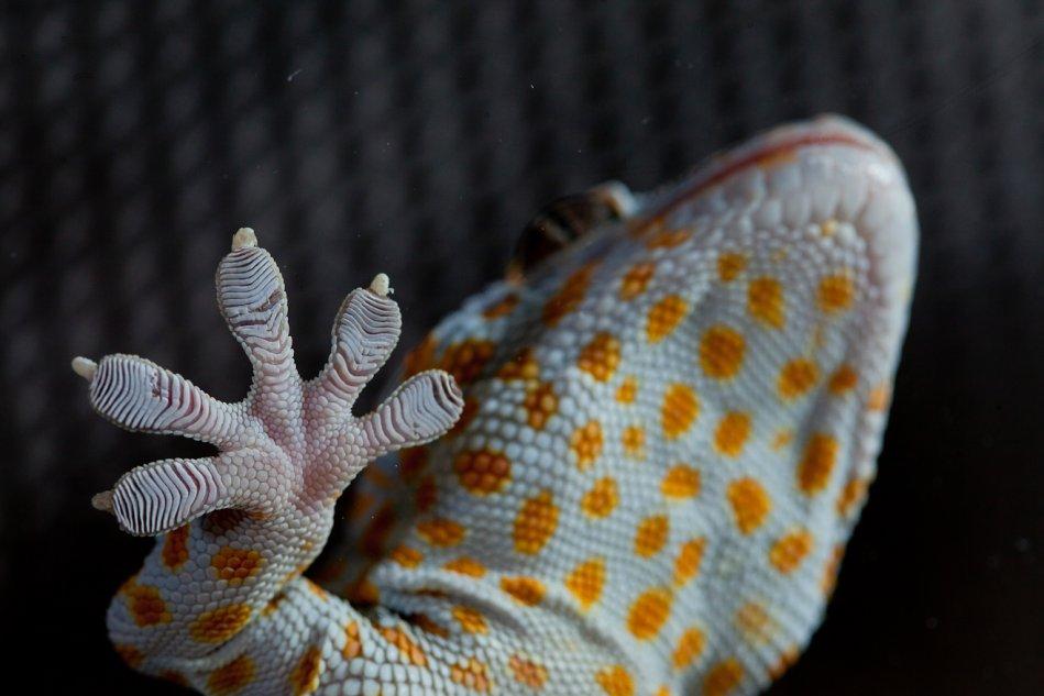 Foot of Tokay gecko (Gekko gecko)