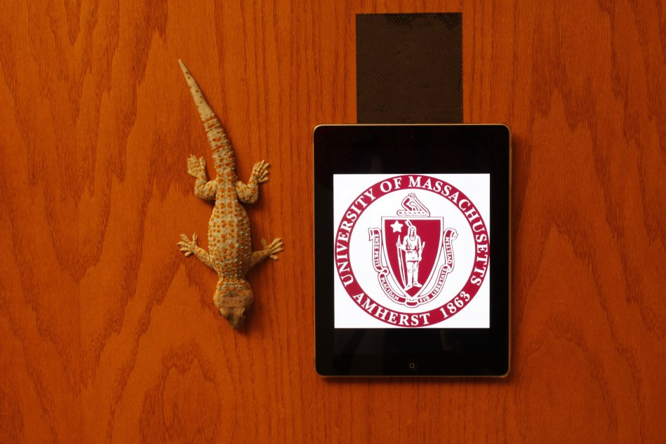 Tokay gecko (Gekko gecko) and an ipad hanging by a 4x4 inch piece of geckskin on a wooden door