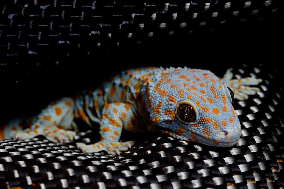 Tokay gecko (Gekko gecko) resting on kevlar