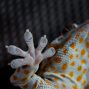 Foot of Tokay gecko (Gekko gecko)