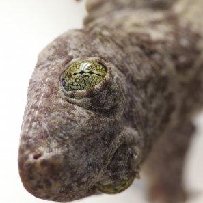 Gehyra vorax head