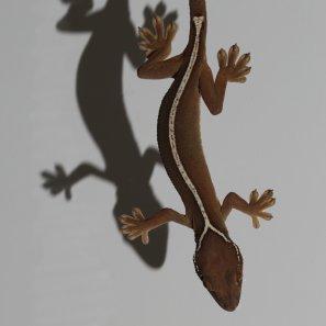 Gekko vittatus shadow