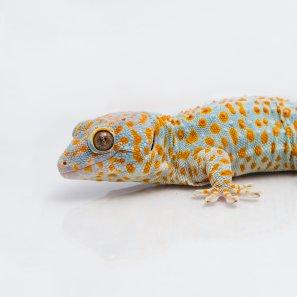 Tokay gecko (Gekko gecko)